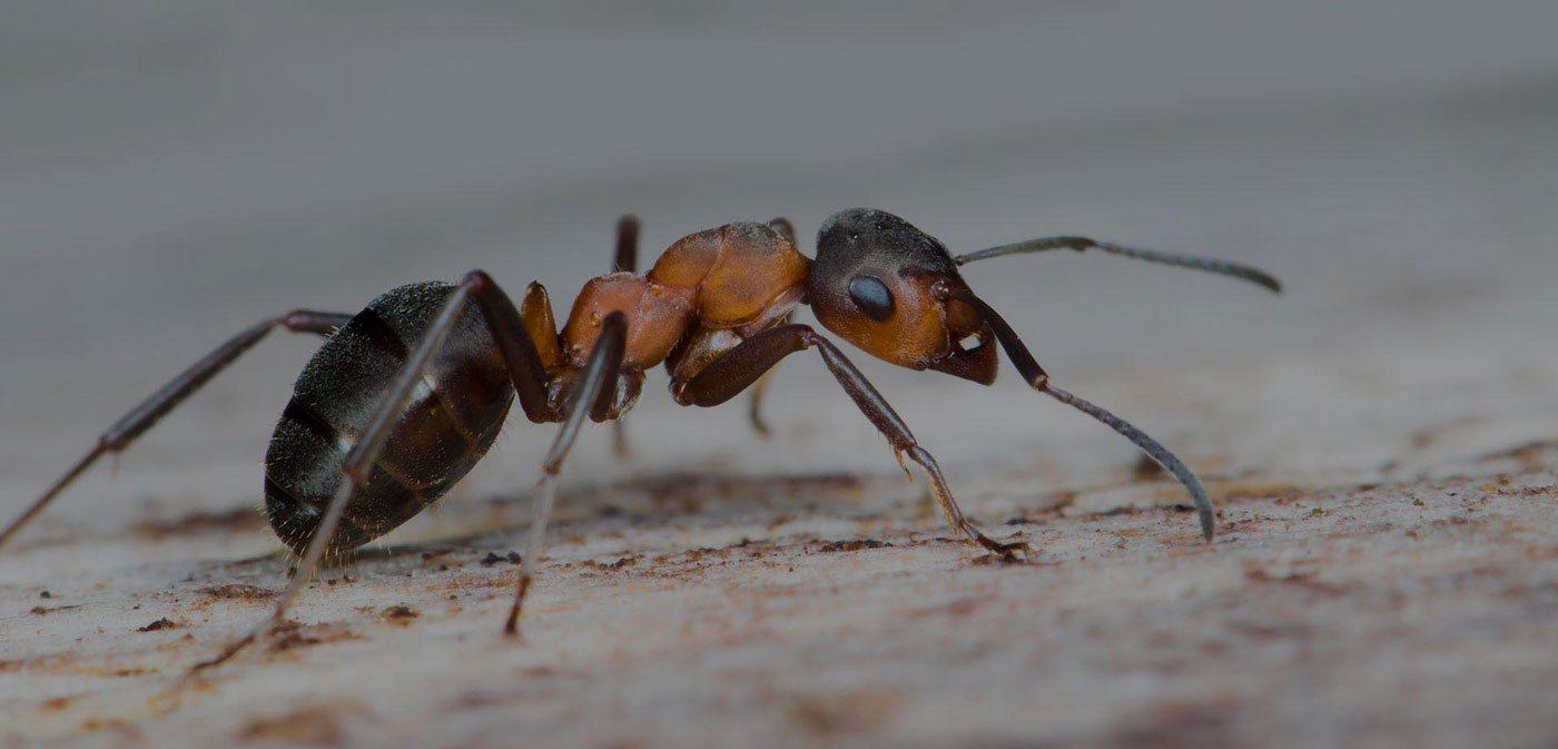 Crawling ant